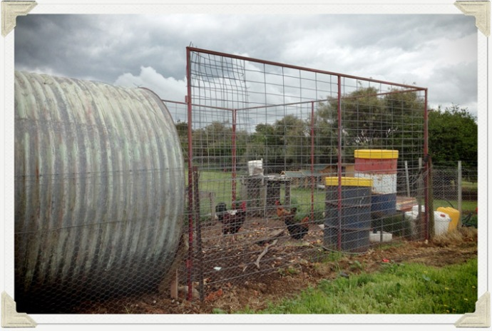 Our existing chookpen - the tall drum is a self feeder, and small one has top up wheat that we add to the pellets we buy.  Mr Rooster can be seen here stutting his stuff!
