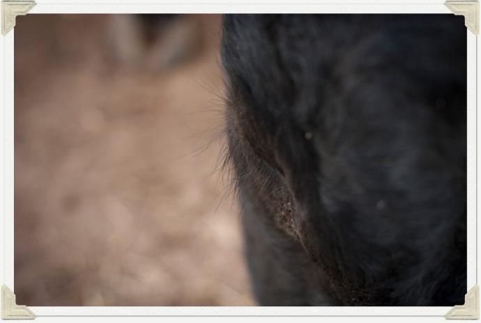 Bulls eyelashes