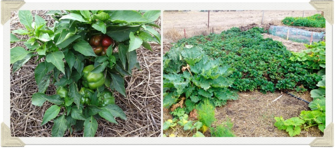 strawberry and rhubarb patch photo