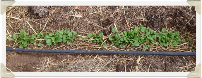 Spinach plants photo
