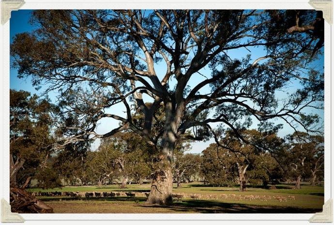 Sheep and tree photo