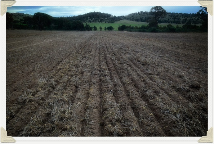 Sowing Lupins 03