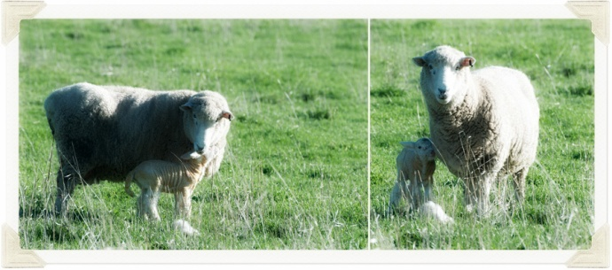 Twin lambs photo