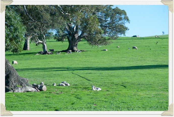 Lambing photo